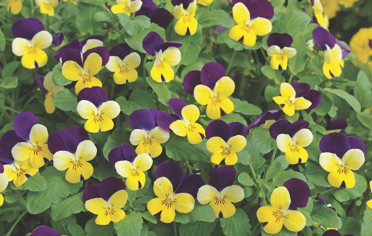 Zierpflanze Endurio Yellow with Purple Wing