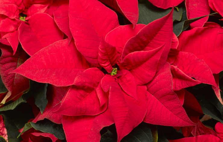 Poinsettienkultur